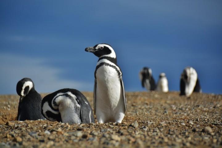 Tučniak magellanský